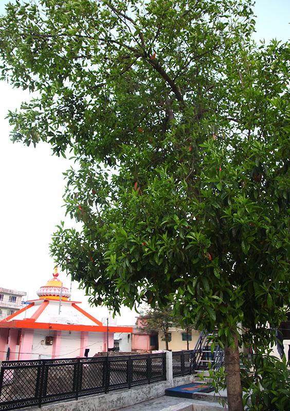 rudraksha arbre yoga vedas
